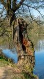En gammal ek vid dammet Royaltyfria Foton
