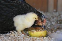 En gammal fågelunge för dag och hans mamma Arkivfoton