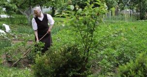 En gammal grå hårkvinna med en hacka som arbetar på ett grönt potatisfält arkivfilmer
