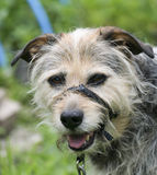 En gammal hund i en Head Halter Royaltyfria Bilder