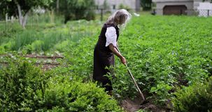 En gammal kvinna med en hacka som arbetar på potatisfält lager videofilmer