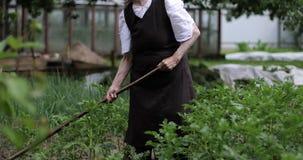 En gammal kvinna med en hacka som arbetar på potatisfält arkivfilmer