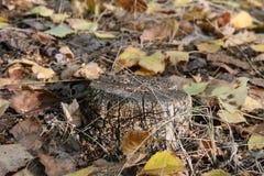 En gammal stubbe i höstskogen arkivfoto
