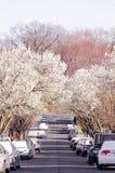 En gata som omges av rosa och vita blommande träd Fotografering för Bildbyråer