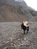 En gaucho som rider hans häst i Patagonia Arkivbilder