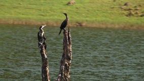En gaur som betar på en flodbank, med fåglar i Kerala Indien stock video
