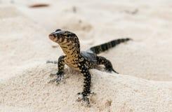 En gecko jagar för rov på en thailändsk strand royaltyfri fotografi