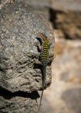 En gekko med gröna modeller på baksida sitter på en mörk sten i solen arkivfoton