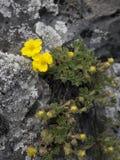En gemensam gul blomma från Transylvania Royaltyfria Foton