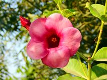 En gemensam röd blomma Arkivfoton