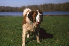 En genomvåt hund Royaltyfri Fotografi