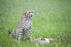 En gepard och dess byte Royaltyfria Bilder