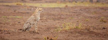 En gepard sitter, safari i Kenya fotografering för bildbyråer