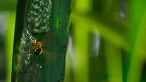 En geting som anfaller och äter grodynglar av exponeringsglasgrodan, exponeringsglasgrodas ägg fotografering för bildbyråer