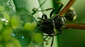 En geting som anfaller och äter grodynglar av exponeringsglasgrodan, exponeringsglasgrodas ägg arkivbild