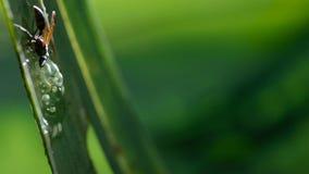 En geting som anfaller och äter grodynglar av exponeringsglasgrodan, exponeringsglasgrodas ägg royaltyfri fotografi