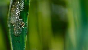 En geting som anfaller och äter grodynglar av exponeringsglasgrodan, exponeringsglasgrodas ägg royaltyfri bild