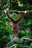 En gibbon från baksida i skogen som hänger från ett träd i juen Arkivfoto