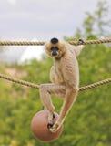 En Gibbon, Hylobates, sitter på ett rep Arkivfoto