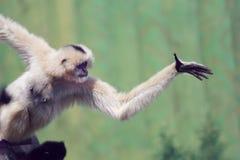 En gibbon spelar royaltyfria foton