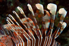 En giftig lionfish Royaltyfria Foton