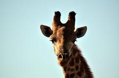 En giraff Fotografering för Bildbyråer