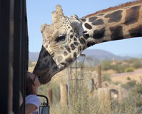 En giraff ger en flicka som ett stort blöter kyssen Royaltyfri Fotografi