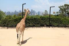 En giraff i den Taronga zoo Australien Royaltyfri Fotografi