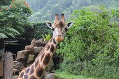 En giraff med en nyfiken look i den Taman safarien, Bogor, Indonesien Arkivbilder