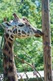 En giraff på den Paignton zoo i Devon, UK Royaltyfria Bilder