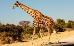 En giraff som korsar vägen Royaltyfri Foto