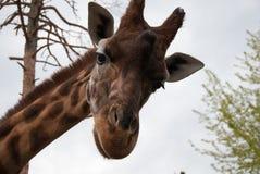 En giraff som ser mig med ett frågande uttryck Arkivbilder