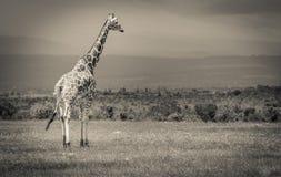 En giraff som står högväxt i fälten Arkivfoton