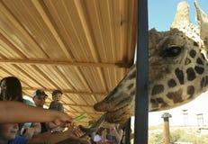 En giraff tar selleri från en pojkes hand arkivfoton