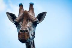En giraffstående arkivfoton