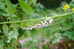 En gjord arbetsoförmögen tomat/tobak Hornworm som värden till parasitiska braconidgetingägg Fotografering för Bildbyråer