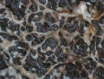 En glazy rörande plasmodium av en slamform på en substrate Arkivfoton