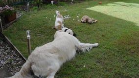 En golden retriever och en kamp för lek för stålarrussell terrier över en leksak stock video