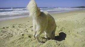 En golden retriever tycker om hans dag på stranden arkivfilmer