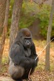 En Gorilla And His Stick Arkivbilder