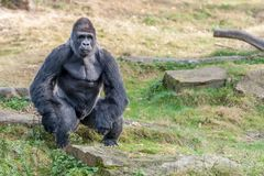 En gorillaman väntar på mat arkivbild