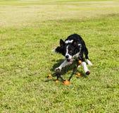 Gränsa den tilltalande collien förföljer toyen på parkerar Fotografering för Bildbyråer