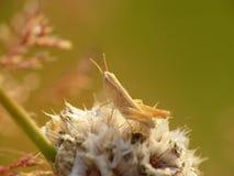 En gräshoppa Arkivfoton