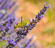 En gräshoppa på en lavendelblomma Royaltyfria Bilder