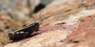 En gräshoppa på röd rock i berg Arkivfoton