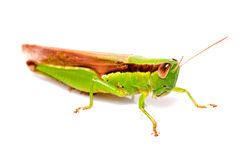 En gräshoppa på vit bakgrund Royaltyfria Foton