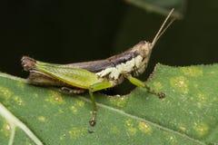 En gräshoppa som äter växtbladet Royaltyfri Bild