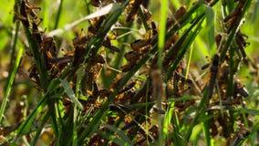 En gräshoppaarmé är på marschen tilldragande av lukten av nyligen att spira gräs i Madagacar arkivbild