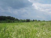 En gräsmatta som prickas med vita små blommor Arkivbild