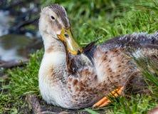 En grå brun ung fluffig ankunge med den våta näsan för guling vilar på ett grönt gräs royaltyfria foton